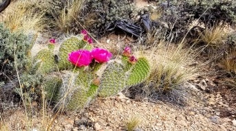 Sowatts prickly pear