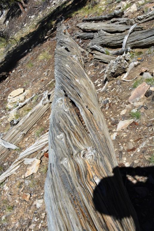 downed bristlecone