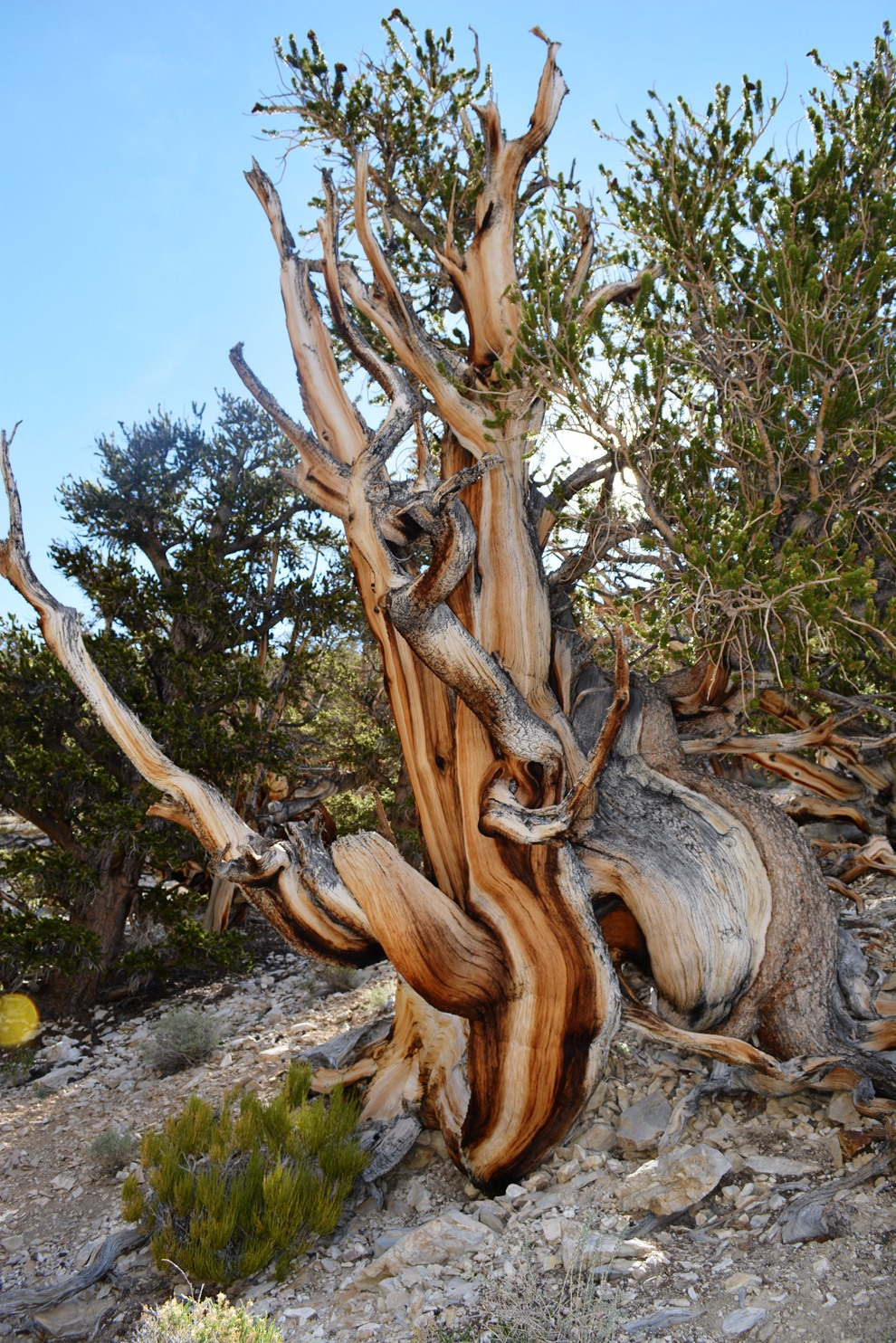 fat bottom bristlecone