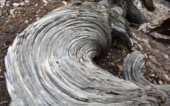 whirled elderoot